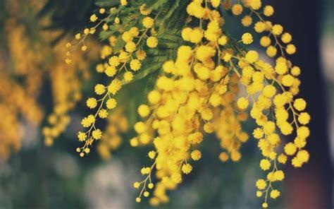 mimosa coltivazione in vaso mimosa pianta piante da giardino caratteristiche della