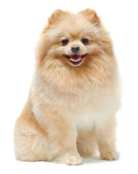 kinds of pomeranian dogs pomeranian breed guide learn about the pomeranian