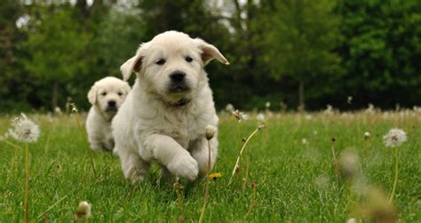 golden retriever age golden retriever puppies