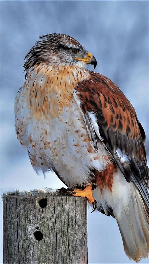 wallpaper ferruginous hawk bird winter snow
