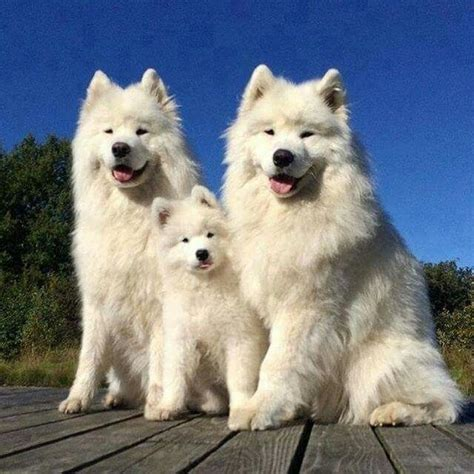 how much are samoyed puppies 25 best ideas about samoyed on samoyed samoyed dogs and samoyed puppies