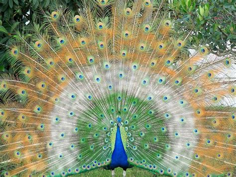 peacock wallpapers beautiful peacock wallpapers free