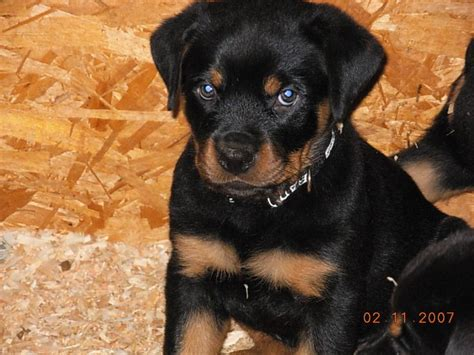 rottweiler puppies for sale bakersfield ca the 25 best rottweiler puppies for sale ideas on german rottweiler