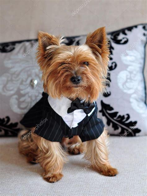 yorkie habits petit chien mignon dyorkshire terrier en habits 233 l 233 gants photographie