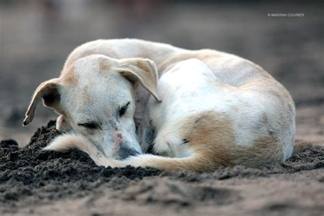 abandoned dogs the plight of india s abandoned dogs madras courier
