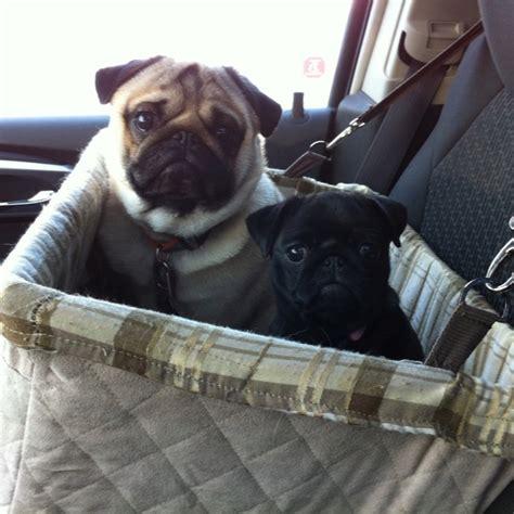pug car seat pin by h walker on th1ng5 i lov3