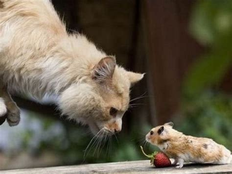 cat and mouse funny cat and mouse pictures pets cute and docile