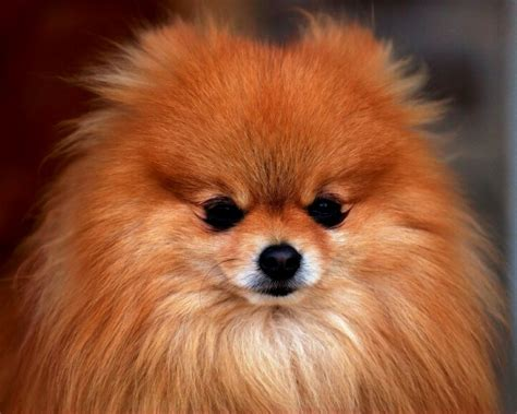 images of pomeranian puppies pomeranian puppy images puppies puppy