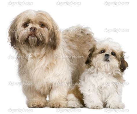 1000 images about barkley shih tzu hair cuts on pinterest 1000 ideas about shih tzu on pinterest shih tzu puppy