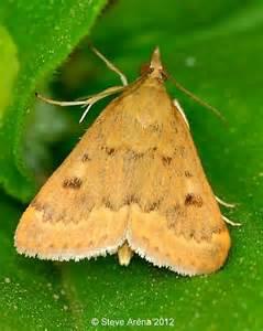 Garden Webworm by Garden Webworm Moth Achyra Rantalis Bugguide Net