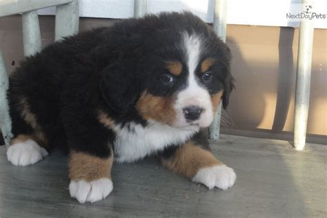 free puppies fort wayne indiana bernese mountain puppy for sale near fort wayne indiana aa08cd3b 8491