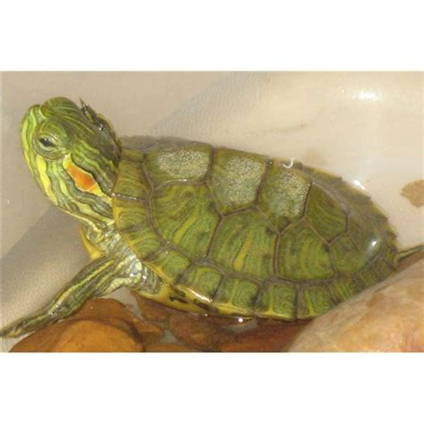 reptile crafts for torn paper turtle a preschool reptile craft