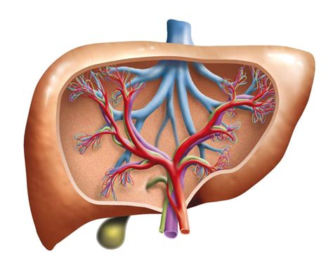 liver enzymes high do you high liver enzymes or a fatty liver liversupport