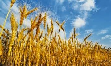Jual Bibit Rumput Gandum Di Bandung rumput gandum wheatgrass canadian western