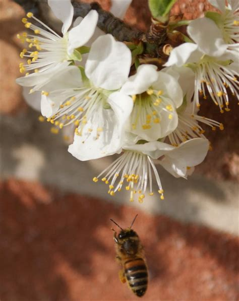 cross pollination fruit trees pollination of apple trees and other fruit trees