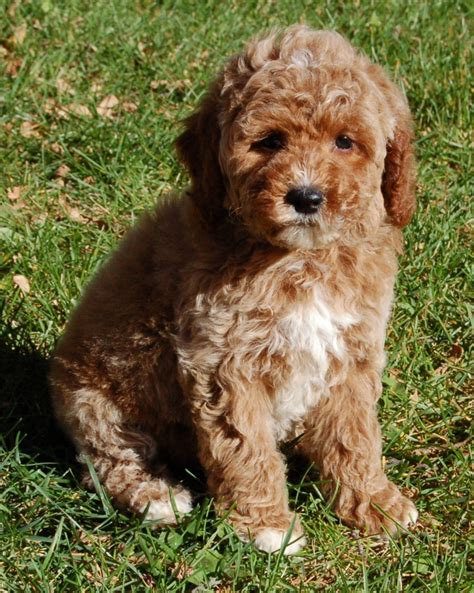mini goldendoodles miniature goldendoodles