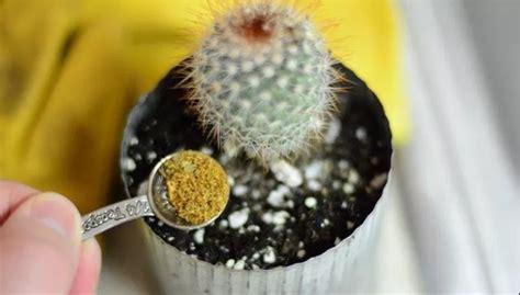 merawat tanaman hias kaktus  tidak busuk