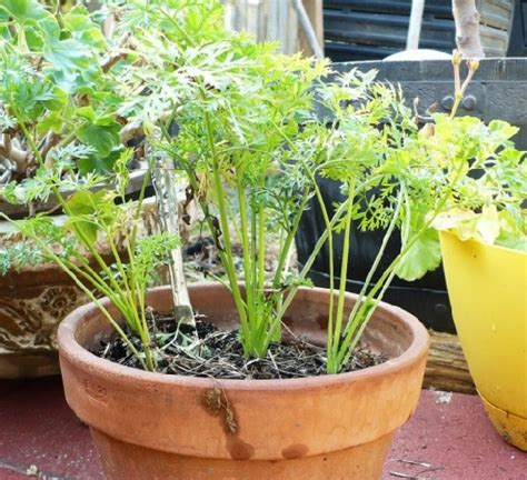 Benih Tanaman Wortel cara menanam wortel di pot bibitbunga