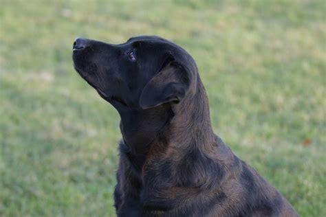 labrador retriever puppies information labrador retriever facts 6 desktop wallpaper dogbreedswallpapers