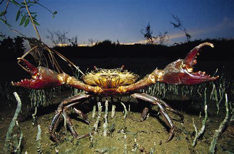 Travel Bag S Mahakam Rit3056 mud crab scylla serrata photograph by cyril ruoso