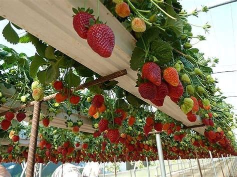 piantare le fragole in vaso piantare fragole alberi da frutto come piantare le fragole