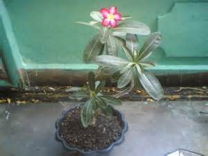 Bibit Cabe Domba live minutes nature is better