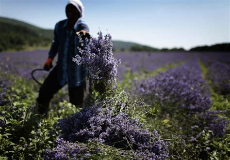 when is lavender in season in michigan bulgaria tops lavender oil producers ranking daily mail