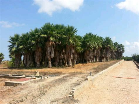 import export valencia palm trees for sale great opportunity for business