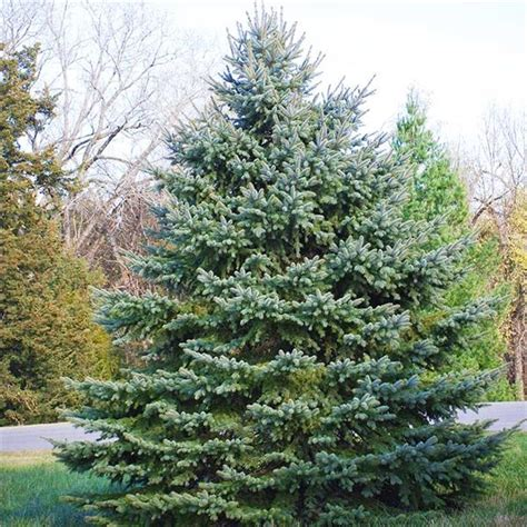 colorado blue spruce trees buy online at nature hills buy affordable colorado blue spruce trees at our online