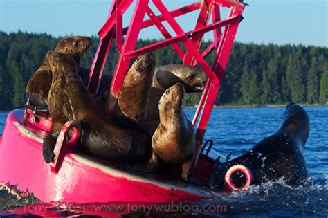 vagabonding with alaska sea lions aren t cuddly and other truths of the last frontier books humpback whales net feeding in alaska tony wu