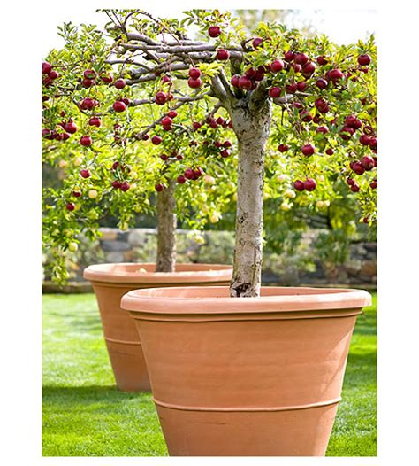 Fruit Trees In Planters by Growing Apple Trees In Containers