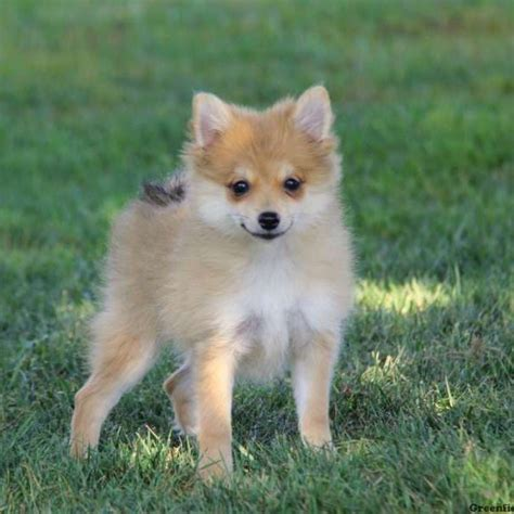 pomchi puppy pomchi puppies for sale pomchi breed profile greenfield puppies