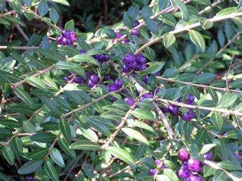 arbusto con fiori violacei lonicera pileata il giardino degli angeli