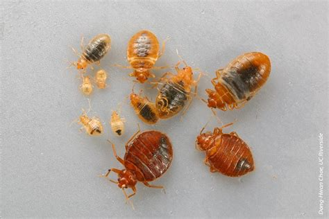 bed bug eggs nymphs and adults rentokil researchers combat resurgence of bed bug in behavioral