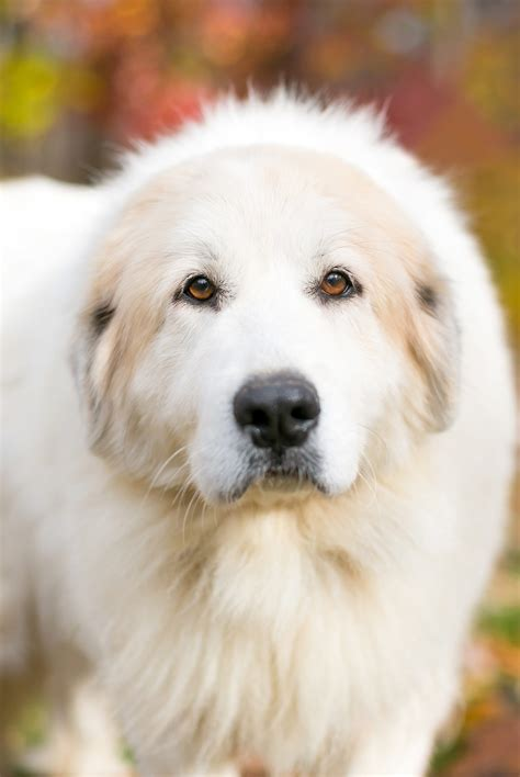 great pyrenees colors great white pyrenees gifts gift ftempo