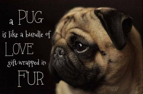 pug saying i you baby pug quotes quotesgram