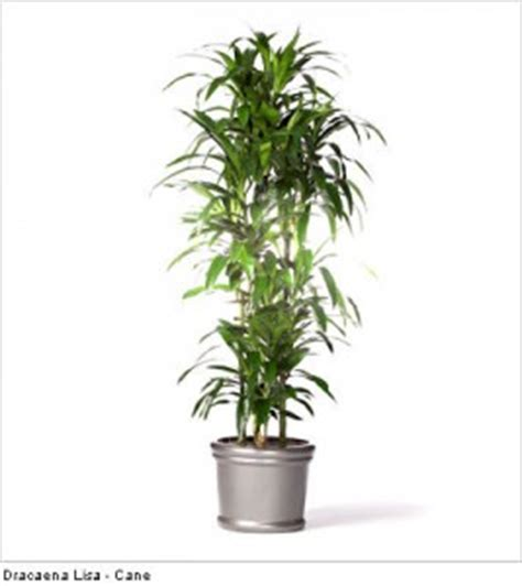 tall indoor plants low light 5 tall indoor plants ambius us