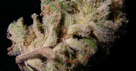best outdoors blogs best outdoor strains strawberry cough seedsman