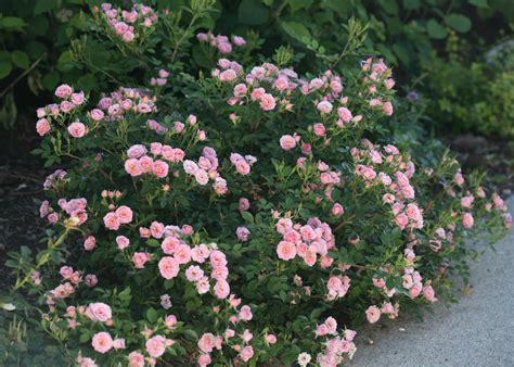 small flowering shrubs top ten shrubs for containers and small gardens proven