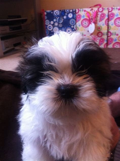 9 week shih tzu beautiful 9 week shih tzu puppy bedworth warwickshire pets4homes