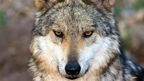 how dogs how the wolf became the science aaas