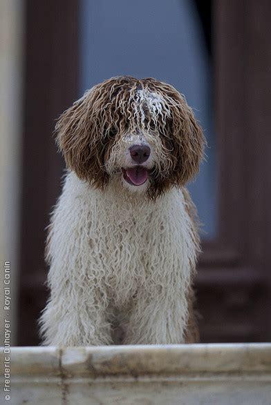 golden retriever en español perro de agua espa 241 ol sociedad canina costa sol