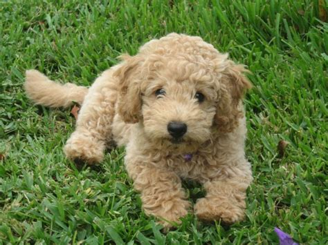 mini doodle size pin miniature goldendoodles home on