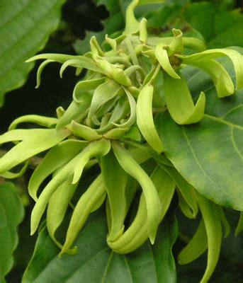 Bibit Bunga Kenanga bunga kenanga cananga odorata bunga wangi yang penuh