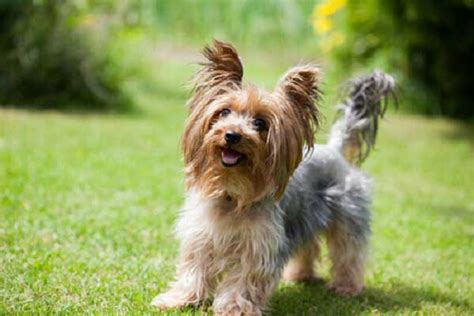 buying a yorkie puppy terrier price range how much does a yorkie cost yorkiemag