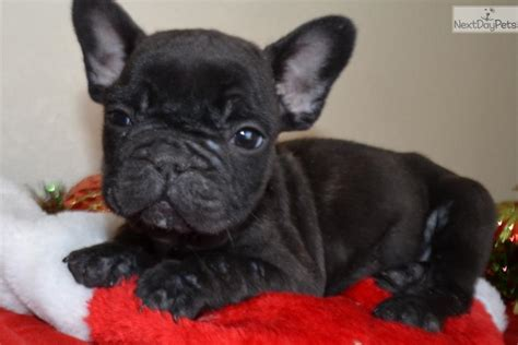 black bulldog puppy bulldog puppy black