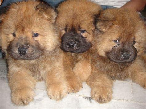 chow chow puppies for adoption chow chow rescue dogs for adoption k k club 2017