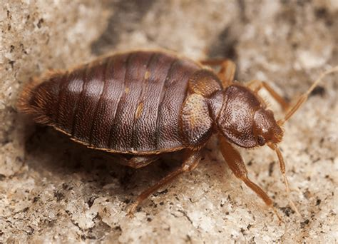 what does a bed bug look like up close bed bug resource center action pest control