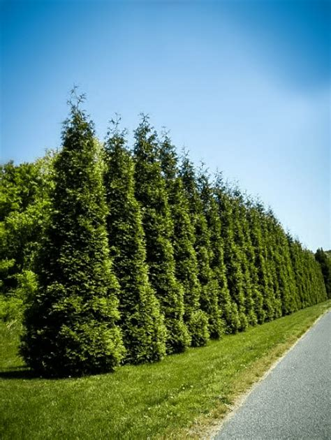 Gardenias by Evergreen Privacy Trees For Sale The Tree Center