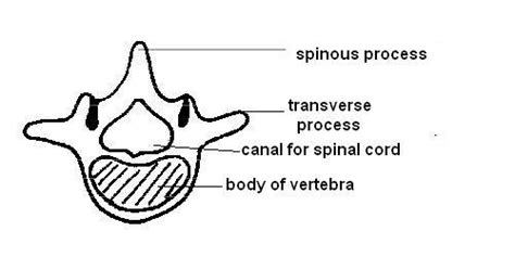 cross section of mammalian spinal cord anatomy and physiology of animals the skeleton the full wiki